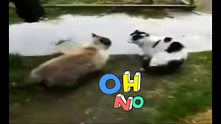Funny cats fighting very dangerouse