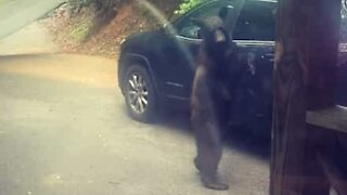Bear tries get into car in Tennessee
