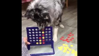 Australian Shepherd plays a round of Connect Four with his owner
