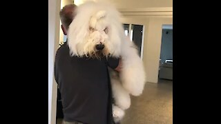 English sheepdog gives owner the biggest hug ever