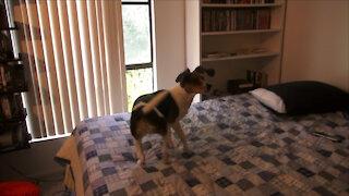 Beagle vs. Fly