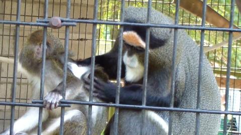Nurturing monkey helps groom her youngster