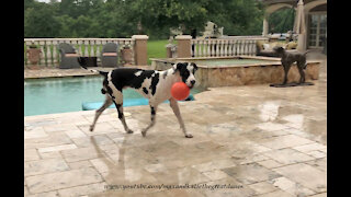 Funny Great Dane Loves Playing Fetch In The Rain