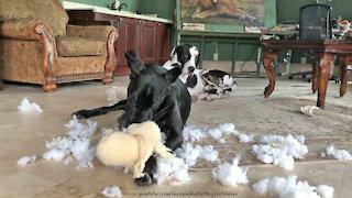 Great Dane enjoys destuffing all of her stuffed animal toys