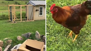 Angry rooster hilariously chases away intruding woman
