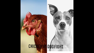 Cute chicken and dog fights