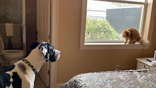 Great Dane tattles on cat flossing whiskers with the blinds