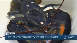 Red Lobster saves rare blue lobster
