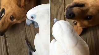 Cockatoo hilariously pulls on doggy's ear
