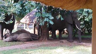 Safari guests enjoy breakfast in restaurant while watching elephants relaxing in the garden