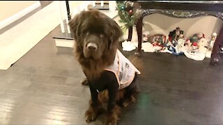 Cavalier puppy and Newfoundland eagerly do tricks for treats