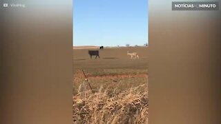 Veado confuso pensa que é uma vaca