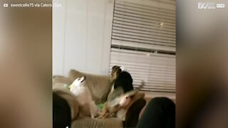 Dogs in heated exchange over sofa rights