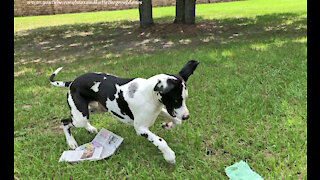 Happy Great Dane Only Delivers Good News and Laughter