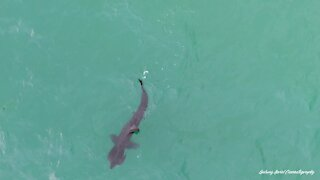 Irish drone footages captures feeding basking shark