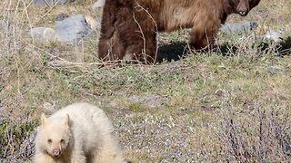 Albino Brown Bear Spotted In The Wild