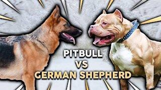 German Shepherd Attacks Friendly Pitbull