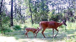 Mother Deer Helps Her Fawn