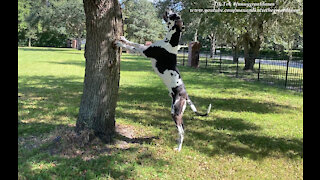 Bouncing Great Dane Wants To Climb A Tree To Meet A New Furry Friend