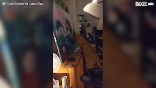 Cat mesmerized by painting while affected by anesthetic