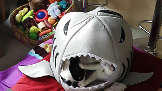 French bulldog and cat play inside shark tent