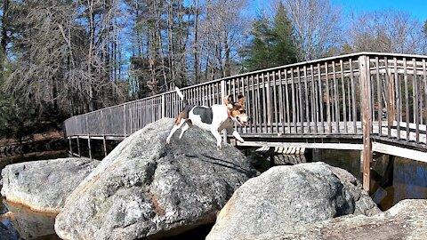 Beagle Dog Jumping