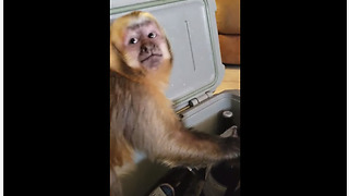 Monkey takes beer from cooler, tries to open it