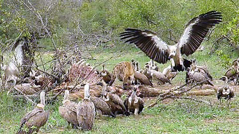 Lone hyena relentlessly chases vultures away from kill