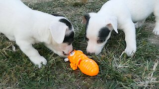 Jack Russell Puppies Take On Giant Mechanical Ant