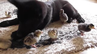 German Shepherd puppy greets newborn chicks