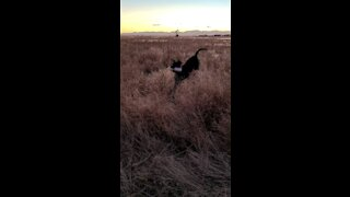 Pheasant hunting Dog Training