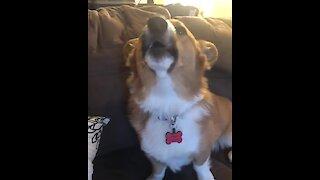 Corgi howls along to ambulance siren