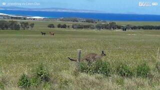 Un kangourou fait la course avec cette voiture!