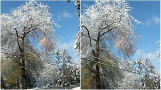 Snow-covered tree is a fire starter!