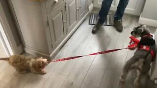 Puppy tries to take older brother for a walk