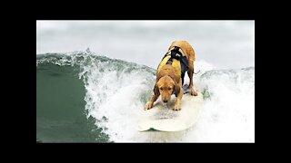 Surfing Happy Dog