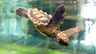 SOUTH AFRICA - Cape Town - Rescued Loggerhead Turtles (Video) (Pai)