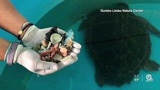 Turtle passes 100 pieces of plastic while recovering from surgery