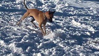 Colorado dog uses frisbee to go sledding down a hill