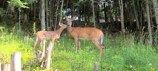 Precious moments with mother and fawn
