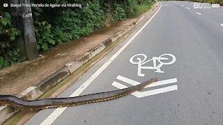 Traffico paralizzato per lasciar passare un'anaconda