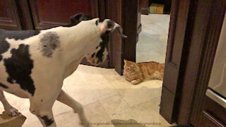 Laid Back Cat Guards His Treats From Great Danes and Dog Friends