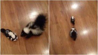 Cucciolo di puzzola è felice di avere un fratellino di peluche!
