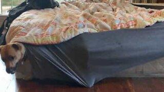 Dog seeks comfort under bed sheets