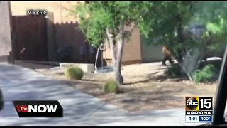 Game and Fish explains decision to euthanize bear spotted in Anthem