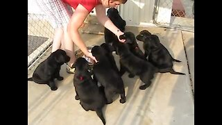 Litter of Labrador puppies sit and wait for food