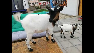 These goats are enjoying the best breakfast ever