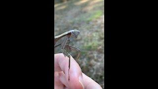 Praying Mantis closeup.