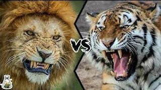 Lion Vs Tiger Real Fight compilation