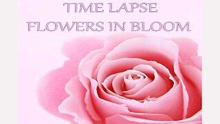 Time Lapse Flowers In Bloom & Beautiful Flowers In Full Bloom